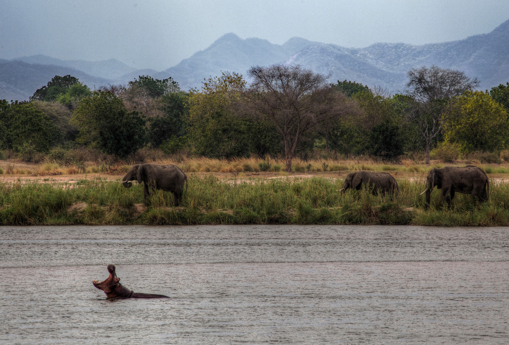 Hippo making a big yawn while in the Zambezi River with three elephants on the shore in Zaibabwe.